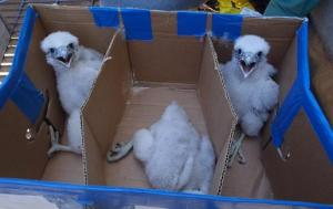 B.C. Cobb Plant Environmental Coordinator Rick Dupuis snapped this shot of the peregrine falcon chicks during the banding process.