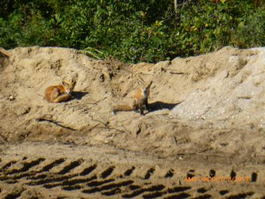 post-treament previous severe mange fox on right of photo